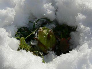 雪の中のふきのとう
