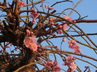 松崎議員の家の梅ノ木