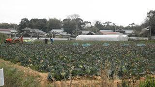 キャベツの収穫風景