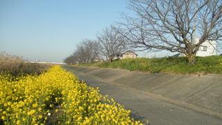 河川敷の菜の花と桜並木