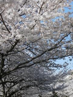 志井川の桜