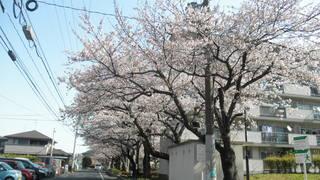 満開間近の桜